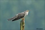 Common cuckoo - Koekoek