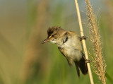 Great Reed Warbler - Grote Karekiet_P4B4244