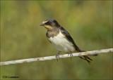 Barn Swallow - Boerenzwaluw - Hirundo rustica