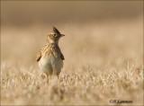 Eurasian Skylark - Veldleeuwerik_P4B1308