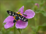 Nine-spotted moth - Phegeavlinder_MG_3418