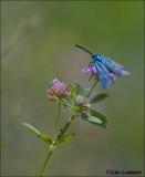 Green forester - Metaalvlinder