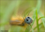Lackey caterpillar - Ringelrups_MG_4433