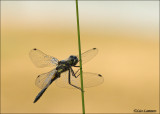 Black darter - Zwarte heidelibel_MG_5475
