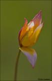 Wild tulip - Tulipa sylvestris ssp. australis_MG_4379