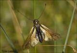Owl fly - Vlinderhaft_MG_4670
