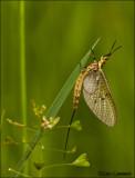 Mayfly - Eendagsvlieg_MG_3853