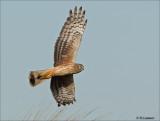 Hen Harrier - Blauwe Kiekendief -Circus cyaneus