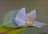 Little emerald - Melkwitte zomervlinder_MG_7897