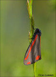 Cinnabar Moth - Sint-jacobsvlinder_MG_9336