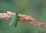 Green forester - Metaalvlinder_MG_9778