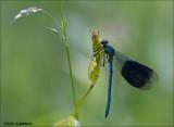 Banded Demoiselle - Weidebeekjuffer_MG_9185
