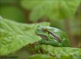 Europian treefrog - Boomkikker_MG_0109
