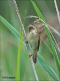 Marsh-warbler-Bosrietzanger