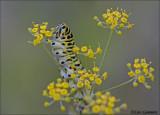 Swallowtail (caterpillar) - Koninginnenpage_MG_0853