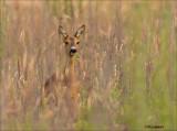 Roe deer - Ree -  Capreolus capreolus
