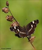 Map Butterfly - Landkaartje - Araschinia levana