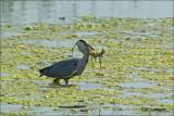 Grey Heron - Blauwe Zilverreiger