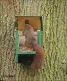 Red Squirre- Eekhoorn - Sciurus Vulgaris