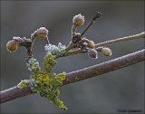 Cornelian cherry - Gele kornoelje - Cornus Mas