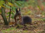 Red Squirrel -Eekhoorn - Sciurus Vulgaris