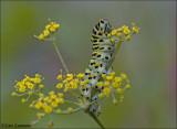 Swallowtail - Koninginnepage -  Papilio machaon