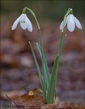 Snowdrop - Sneeuwklokje -  Galanthus nivalis