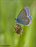Common blue - Icarusblauwtje - Polymmatus icarus