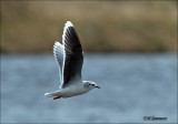 Little Gull - Dwergmeeuw