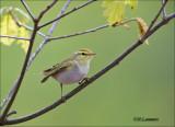 Wood warbler - Fluiter