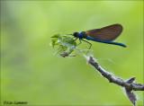Beautiful demoiselle - Bosbeekjuffer - Calopteryx virgo