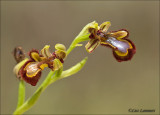 Mirror orchid- Spiegelorchis - Ophrys speculum