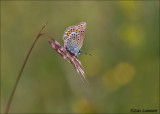 Silver-studded blue - Heideblauwtje - Plebeius argus