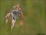 Chalk Hill Blue - Bleekblauwtje - Polyommatus coridon