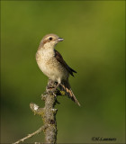 Red-backed Shrike - Grauwe Klauwier - Lanius collurio