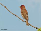 Roodmus - Common Rosefinch - Carpodacus erythrinus