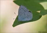 Holly Blue/Celastrina argiolus/ Boomblauwtje