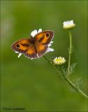 Gate keeper - Oranje zandoogje - Pyronia tithonus