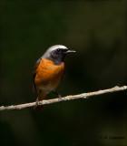 Common Redstart - Gekraagde Roodstaart