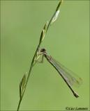 Willow Emerald Damselfly - Houtpantserjuffer - Lestes viridis