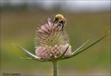 Teasel - Grote kaardebol - Dipsacus fullonum