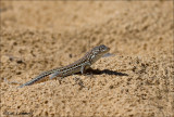 Spanish Psammodromus - Spaanse zandloper - Psammodromus hispanicus