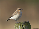 Northern wheatear -  tapuit