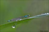 Blue-tailed Damselfly - Lantaarntje - Ischnura elegans