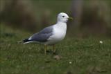Mew Gull - Stormmeeuw - Larus canus