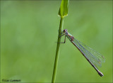 Green Emerald Damselfly - Houtpantserjuffer - Lestes Virides