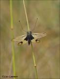 Owlfly - Bastaardlibel - Libelloides longicornis