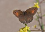 Levant Meadow Brown - Levant bruin zandoogje - Maniola telmessia