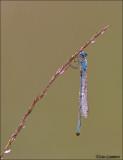 Common Blue Damselfly - Watersnuffel - Enallagma cyatigerum