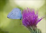 Holly blue - Boomblauwtje - Celastrina argiolus
